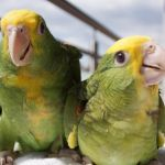 Амазоны - абсолютно ручные птенцы 4 мес.из питомников  Европы
