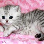 Британские  клубные котята вискас из питомника vivian.