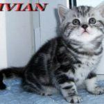 Британские  мраморные и вискас  котята из питомника vivian.