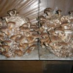 Мицелий грибов на зерне, мицелий на палочках, субстраты