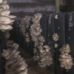 Мицелий грибов вешенки, субстраты грибов, почтовая рассылка