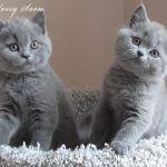 Британские  голубые котята из питомника Silvery Snow