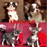 Чихуахуа красивые щенки, элитного шоколадного окраса.