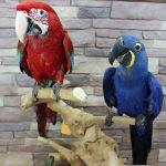 Попугаи -  ручные птенцы 3 - 4 мес. из питомников Европы