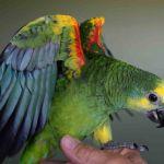 Синелобый амазон (Amazona aestiva aestiva) ручные птенцы из питомников