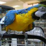 Ара сине-желтый от заводчика