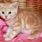 Британские котики красный мрамор на серебре