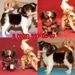 Чихуахуа щенки редкого окраса, мини и стандарт.