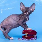 Котята Эльф, бамбино, Двэльф, канадский сфинкс от элитного питомника.