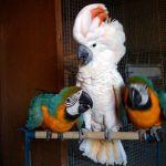 Попугаи - абсолютно ручные птенцы из питомников Европы. Документы CITES