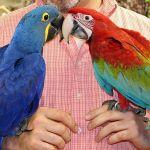 Попугаи ара -  ручные птенцы 3 - 4 мес. из питомников европы