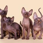 Мягкие, как пух, котята Эльф, бамбино, Двэльф, канадский сфинкс.
